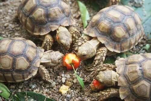 otobur ev kaplumbağaları