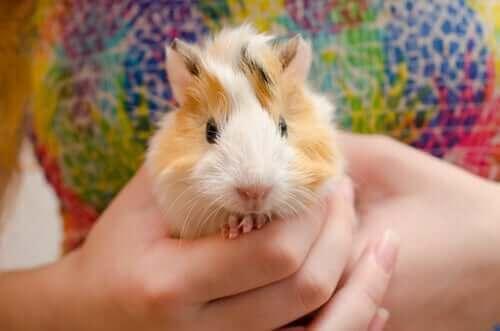 gine domuzlarında küçük azıdişi sorunu