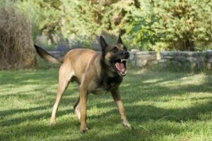 Kızmış havlayan bir köpek