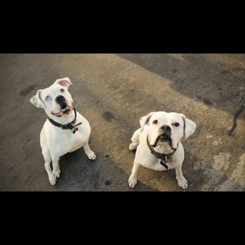 Yeni Bir Ev Bulan Boxer Köpeği