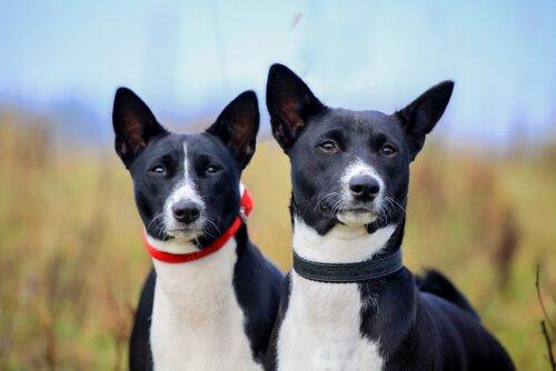 Yazın Köpeklerde Kulak Bakımı