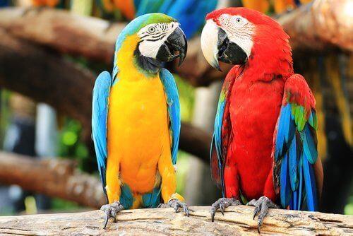 Sarı lacivert ve kırmızı lacivert iki papağan