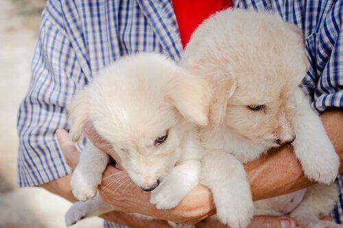 beyaz renkli ikiz köpek yavrusu