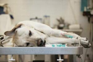 Köpeklerde kanser tedavisi