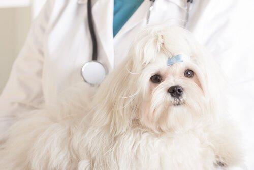 Köpeklerde Kemoterapi Tedavisi