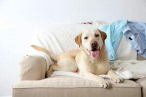 Latin Amerika için özel hayvanlar, köpekler.
