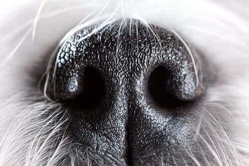 köpeklerde koku duyusu
