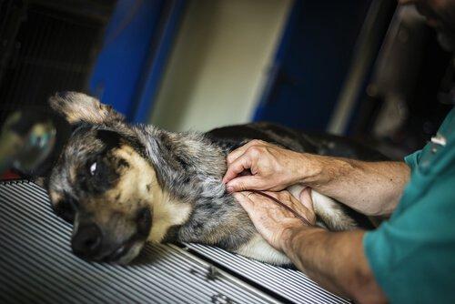 Tayvan'da Köpekler İçin Bir Kan Bankası