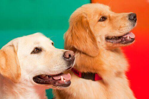 Köpeklerin Epilepsi Nöbetlerini Fark Edebilmeleri