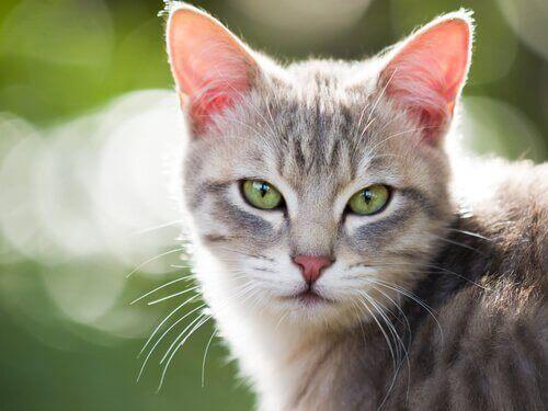 Kedilerde Hipertiroidizm: Nedenleri ve Tedavisi
