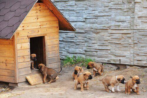 Bir köpek kulübesinin önünde duran köpek yavruları.