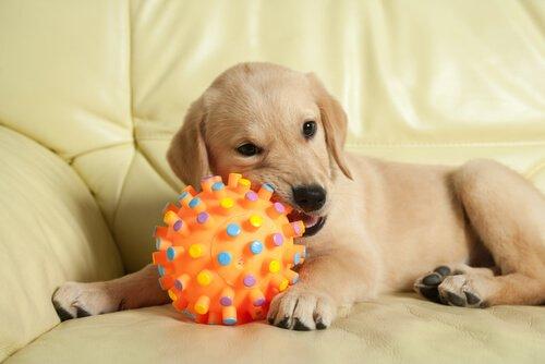 top çiğneyen köpek