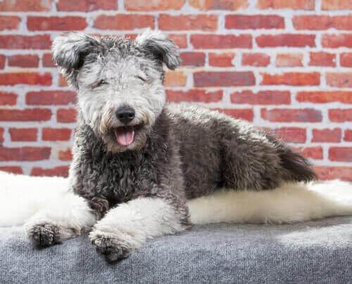 Yeni Köpek Irkı Pumi ile Tanışın