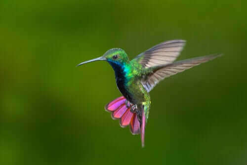 Kolombiya ve Venezuela'daki Renkli Sinek kuşları