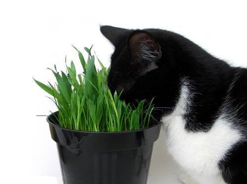saksıdaki çimleri yiyen kedi