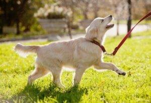 Parkta gezen tasmalı köpek