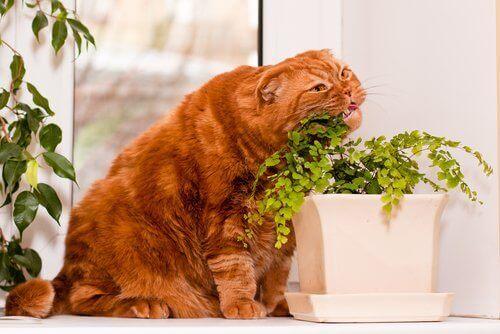 turuncu kedi bitki yiyor ve kediler neden çim yer