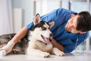 Veterinerde çip takılan bir köpek