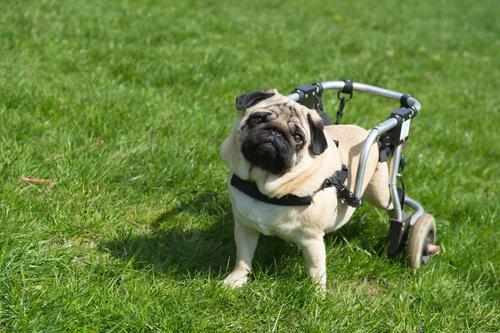 Felçli Köpekler Burunları Sayesinde Tekrar Yürüyor