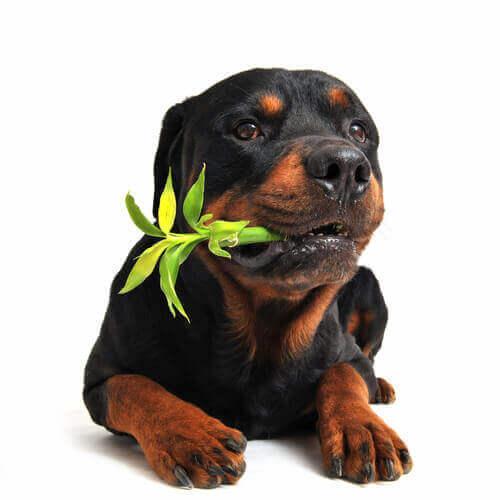 bambu kemiren köpek