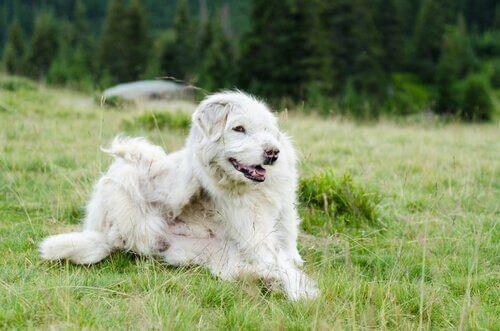 Köpeklerde Görülen En Yaygın Parazitler