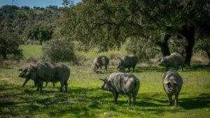 Çimenliklerde gezen domuzlar ve afrika domuz gribi