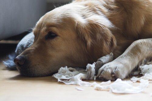 Kağıt parçalamış Golden cinsi köpek