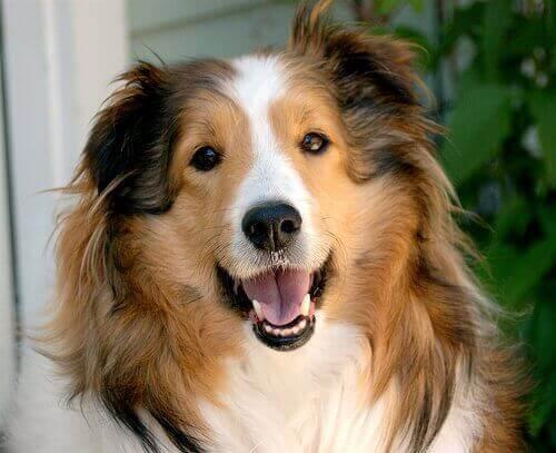 gülümseyen köpek