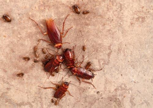 hamam böceği ailesi
