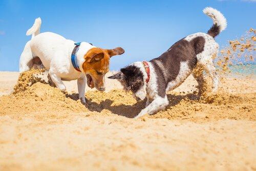 iki köpek çukur kazıyor ve köpeklerde davranışsal problemler