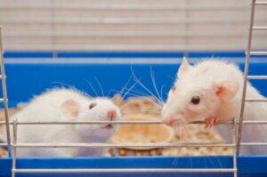 Laboratuvarda fareler