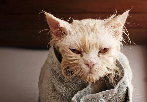 ıslak kedi havlusuyla duruyor ve insan hijyen ürünleri ve hayvanlar