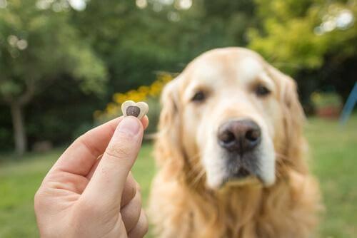 Sahibinin elindeki mamaya bakan Golden cinsi köpek