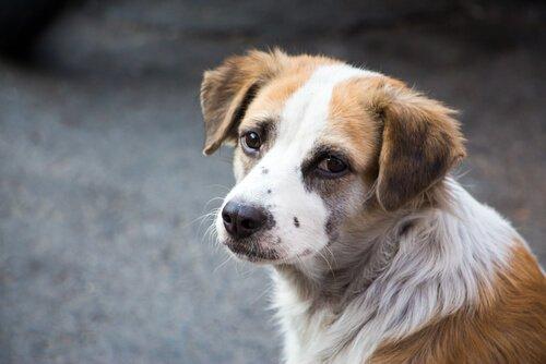 Köpeğinizin Acı Çektiğini Belirten Durumlar