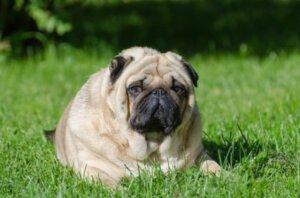 Obez bir pug köpeği