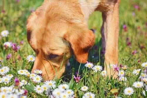 Papatya ve Evcil Hayvanlar İçin Tıbbi Özellikleri