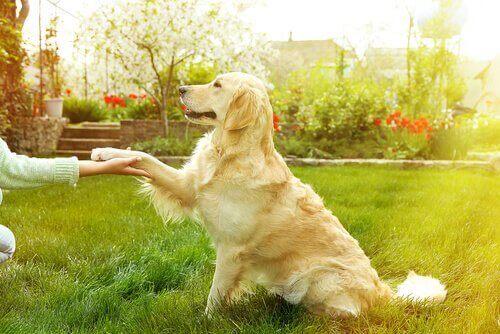Bahçede sahibesine pati veren Golden cinsi köpek