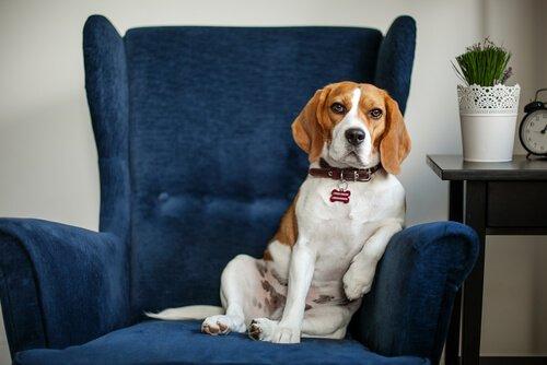 psikolog koltuğunda köpek