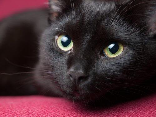 Kırmızı koltuk üstünde uzanan Bombay kedisi