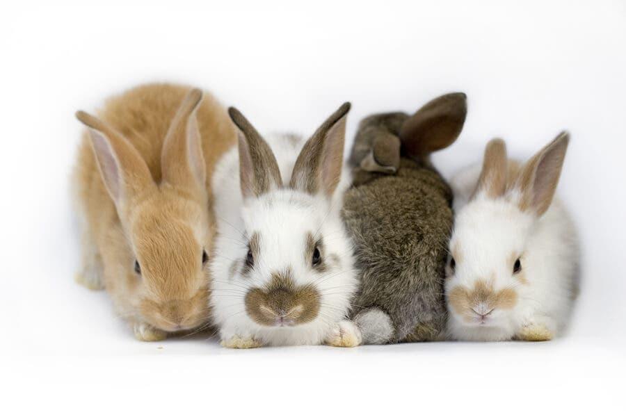 Tavşanlarda Vestibüler Hastalık Hakkında Her Şey
