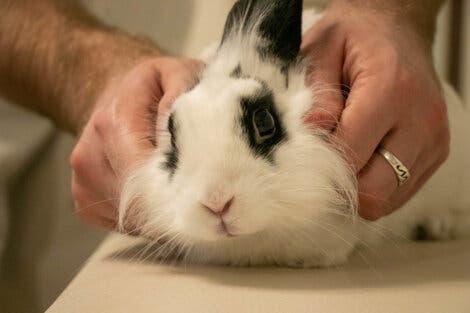 vestibüler hastalık yaşayan tavşan