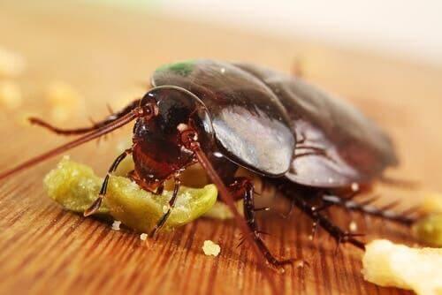 yemek yiyen hamamböceği