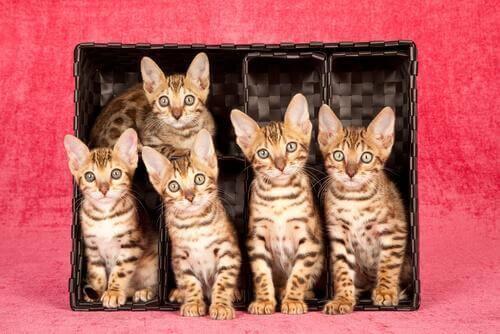 Kesinlikle Bayılacağınız 7 Kedi Cinsi