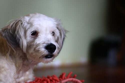 Köpeğinizin Gluten İntoleransı Olabilir Mi?