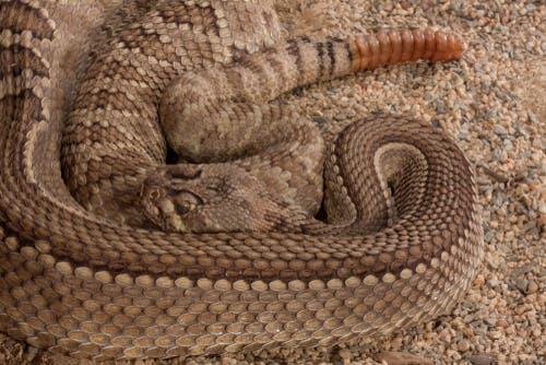 batı elmas sırtlı çıngıraklı yılanı