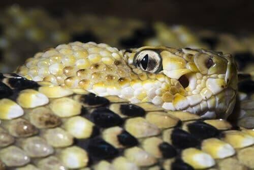 çıngıraklı yılanlar
