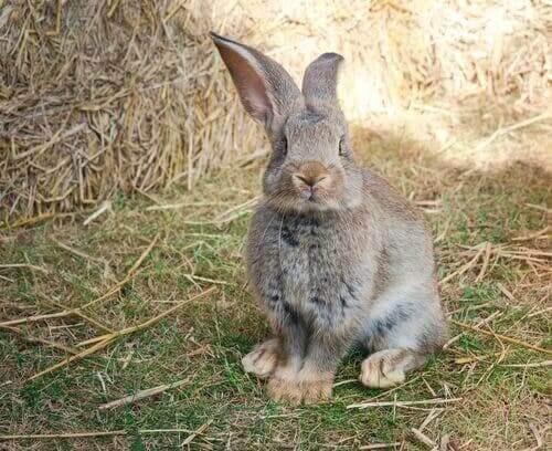 Continental Devi: Dünyanın En Büyük Tavşanı