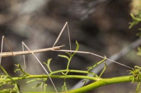 değnek böceği