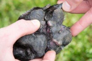 Patisinde dermatit olan köpek