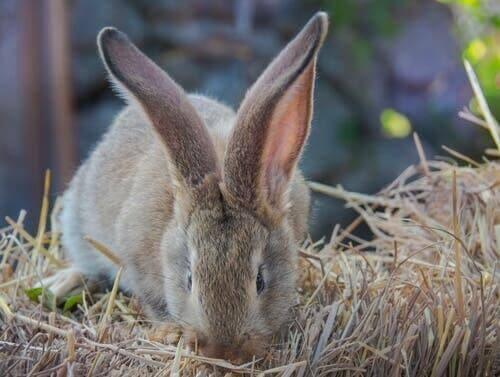 yemek yiyen dev tavşan